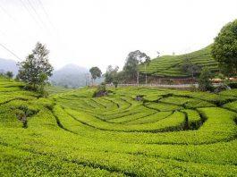 Kebun Teh Rancabali Bandung